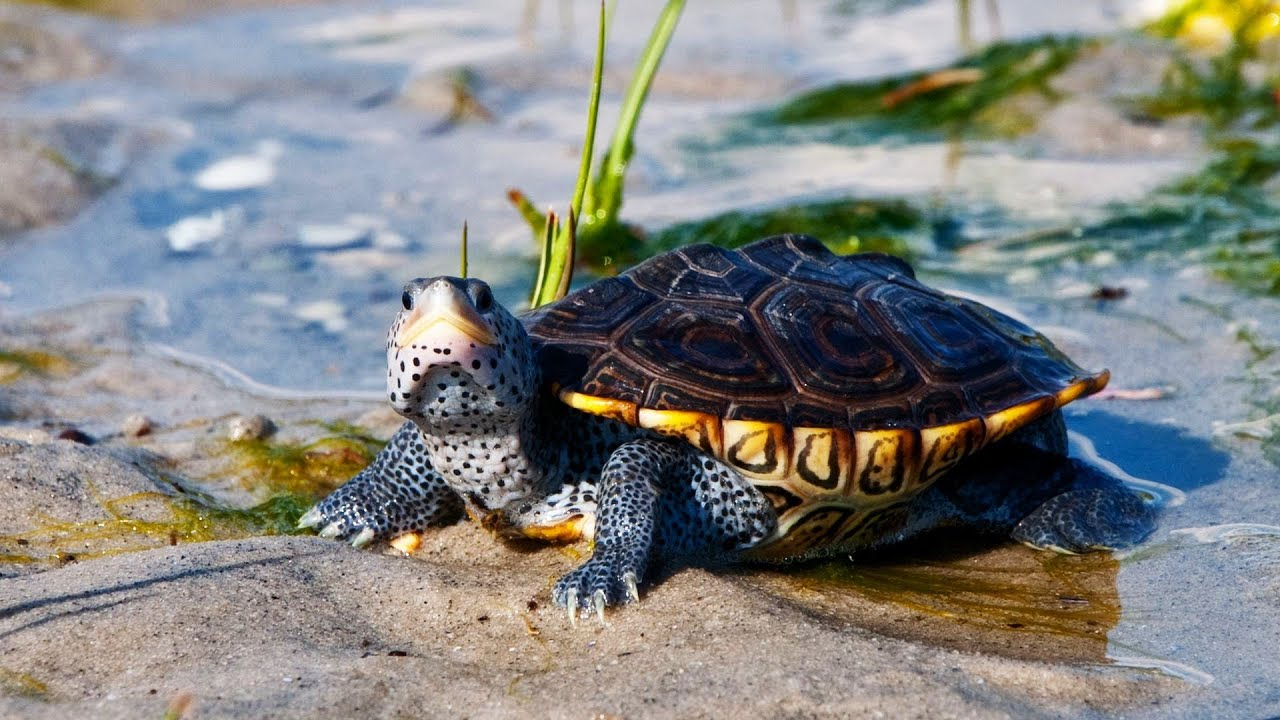 Whats a Diamondback Terrapin Turtle? Pet Turtles - YouTube