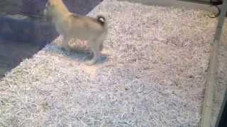 Mini Husky (huskimo) Puppy, Empire Puppies