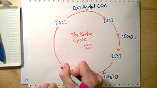 What is the point of the Krebs cycle?