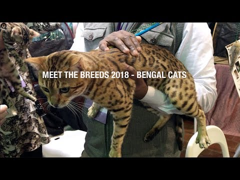 Meet The Breeds 2018 - Bengal Cats