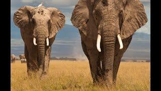 Величественные слоны Африканский слон смотреть HD 720 Discovery