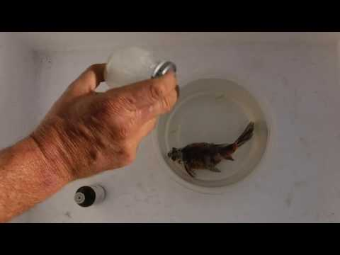 How To Euthanize A Fish With Clove Oil