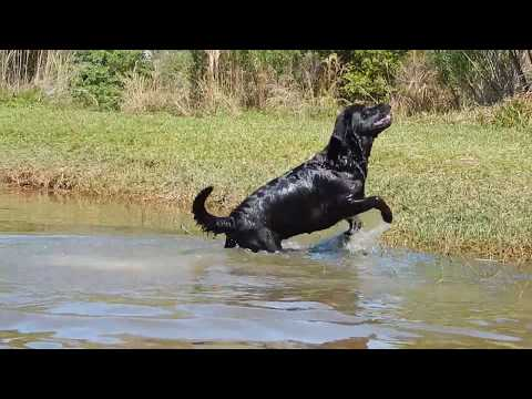Black Labradors swimming BEAUTIFUL