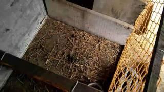 Kury ozdobne: Jajka pod kwoke i ona sama