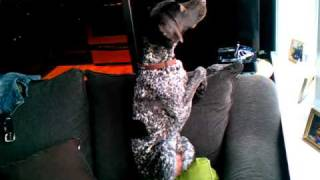 German Shorthaired Pointer Lazy Point