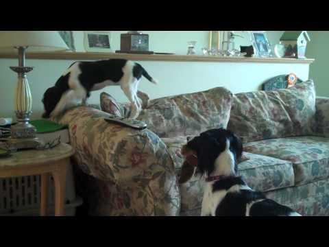 Field Bred Springer Puppy