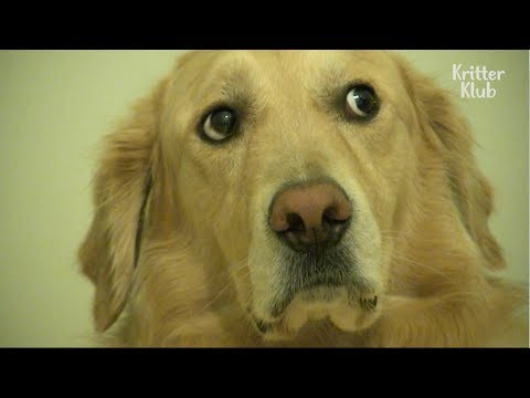 Cute Retriever Dog Gets Scared During Daylight Hours | Kritter Klub
