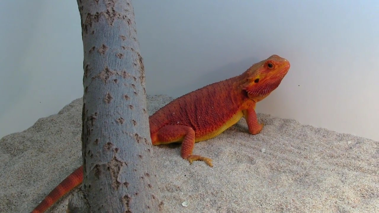 Mystic Red Coral breeder - Bearded dragon - Agama vousatá