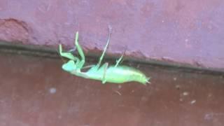 Богомол насекомое