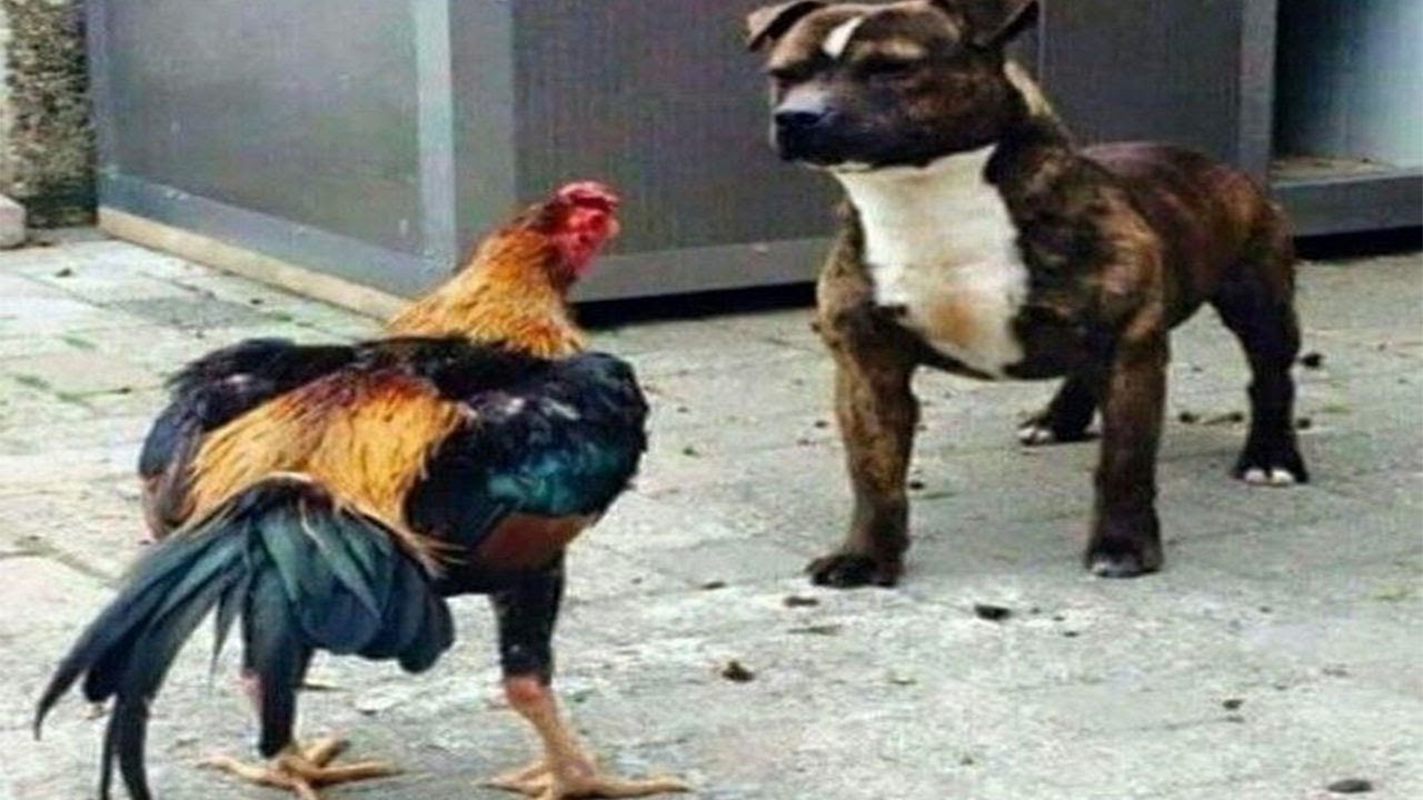 Rooster and dog. When dog run like chicken. Funny Animal .