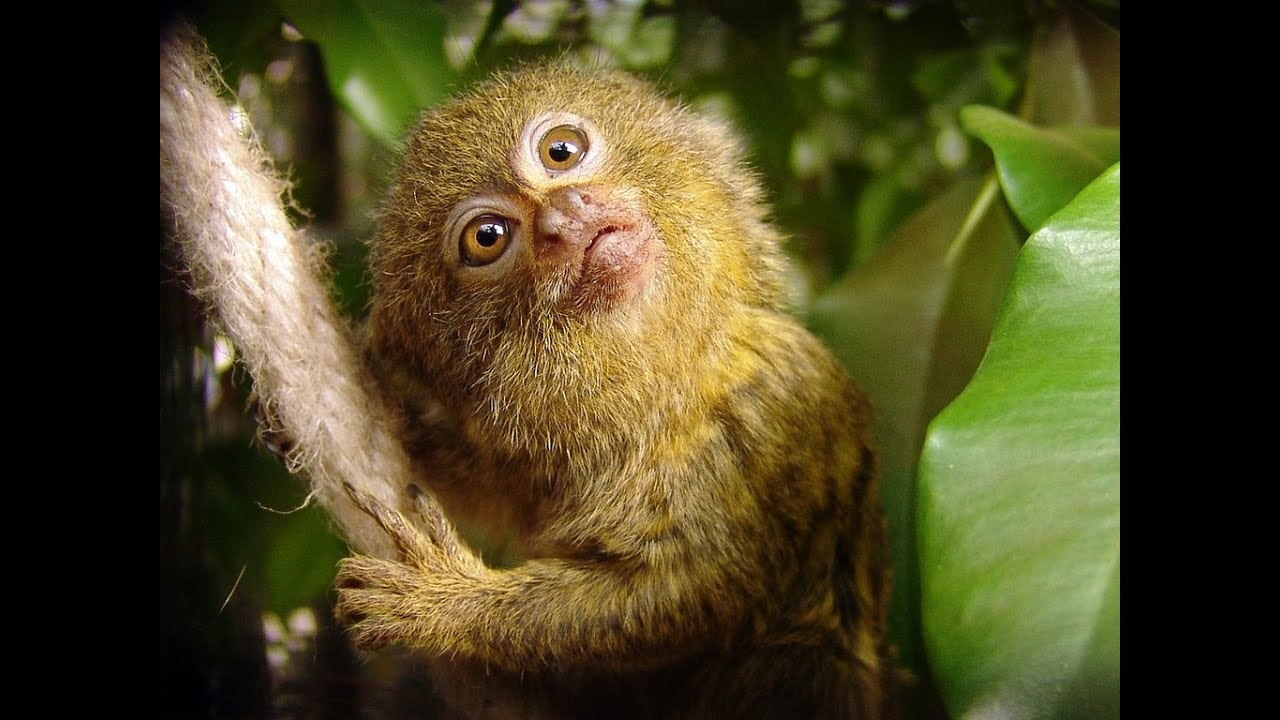 Pygmy Marmoset - Funny Little Monkey - YouTube