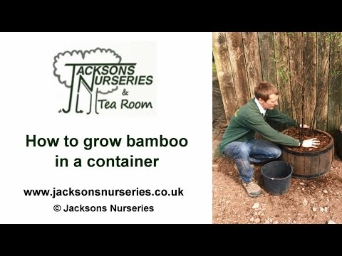 How To Grow Bamboo In Containers Youtube