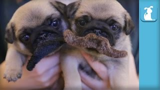 4 Week Old Pug Puppies Grow Mustaches - Puppy Love