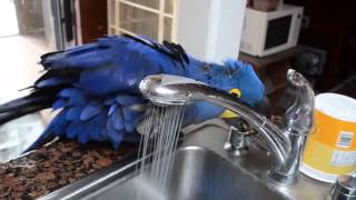 Видео Попугай купается. Для себя воды не жалко!