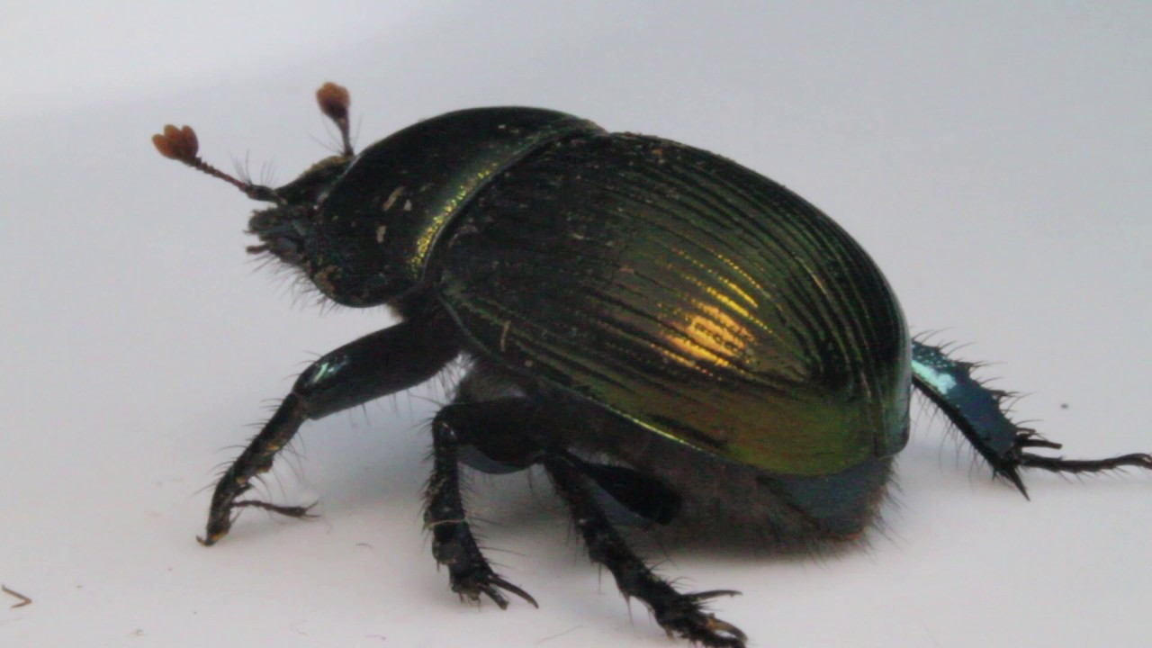 Meet an Insect: Scarab Beetle
