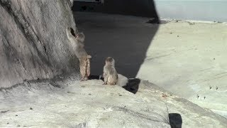 Baby monkey climb the cliff:Baby Animal Video