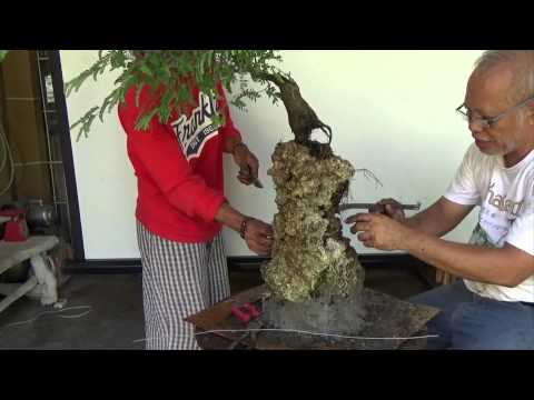 Bonsai Tutorials for Beginners: How to Plant on Rock