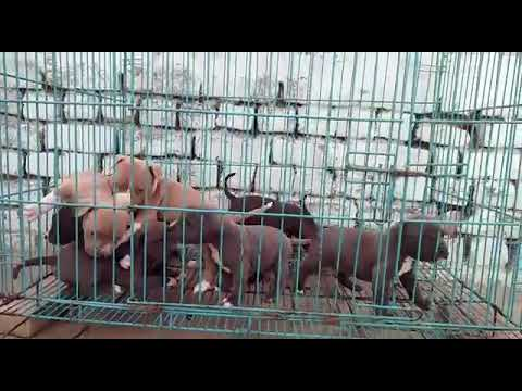 American pittbull puppy for sale gurgaon and delhi 9729227093 9671285538 free home delivery