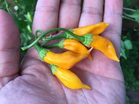 What's That Pepper  Ep15 - Aji Habanero