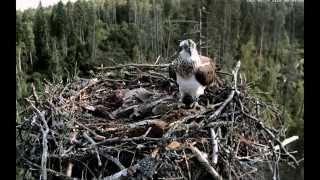 """Дикая природа Птицы У скоп после кормления птенцов в гнезде объявлен """"тихий час"""" :-)) Эстония"""