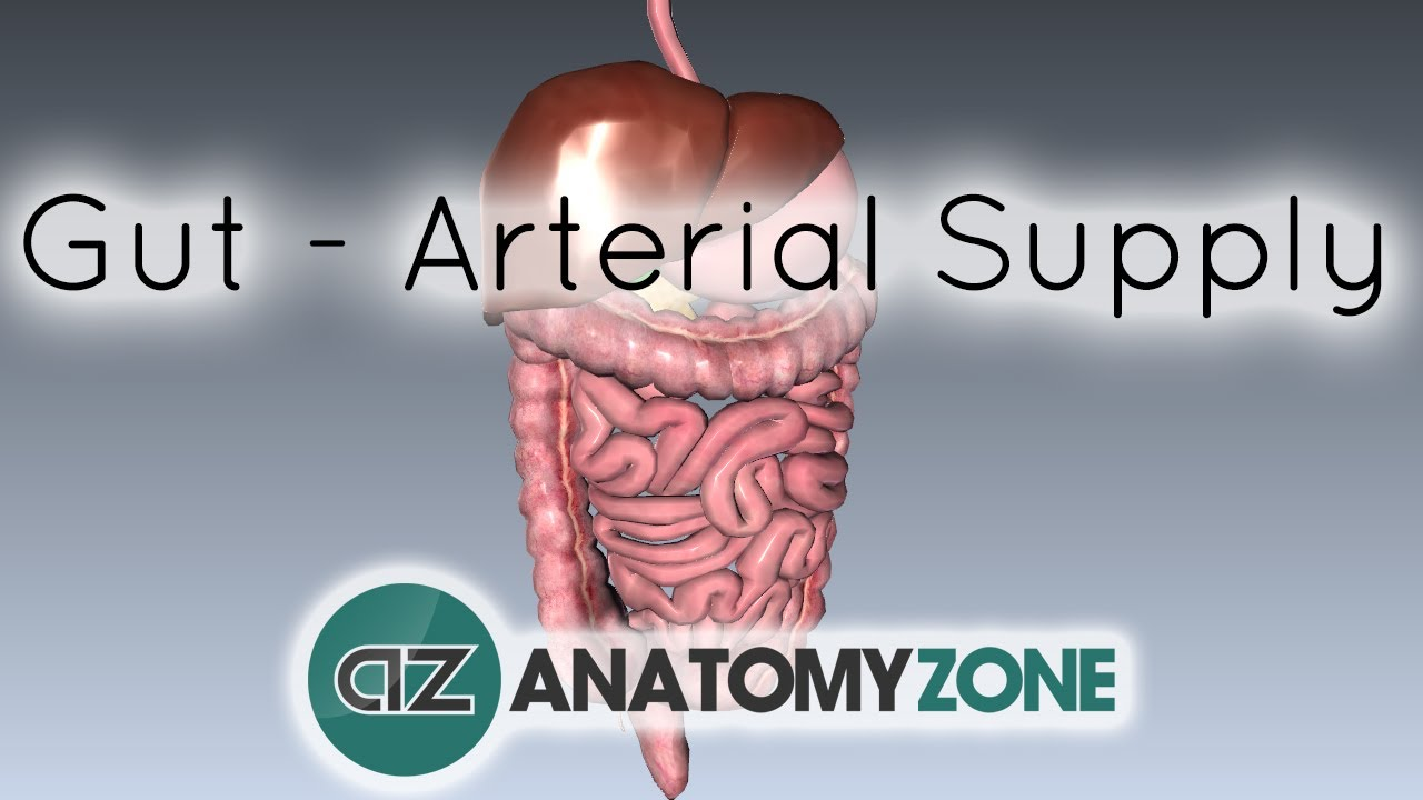 Blood Supply To The Gut Introduction Part 1 Arterial Supply
