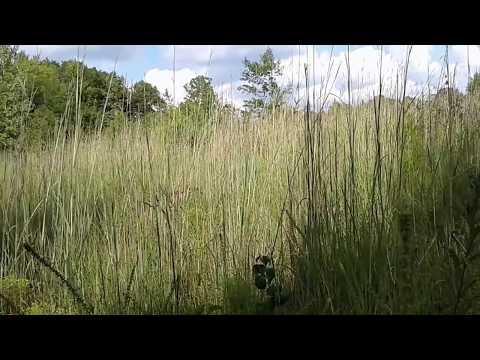 If it is growing in the right place, then Big Bluestem grass can be almost twice as tall as you