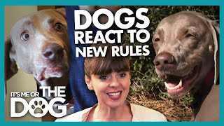 The Moment Four Wild Weimaraners Realise It's time to Behave! | It's Me or The Dog
