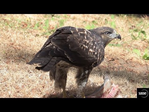 Incredible - this hawk  now thinks he is an eagle - take a look (Sidney nest B.C.)