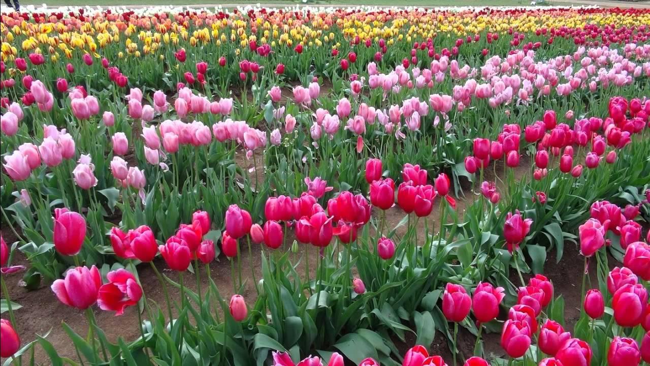 Flowers festival tulips festival flower show melbourne youtube izmirmasajfo