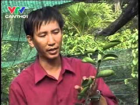Quy trình trồng chanh không hạt theo VietGAP bnn