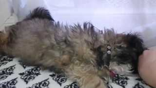 Moxy Opens Mail - Shih Tzu Rescue Puppy 12 Weeks