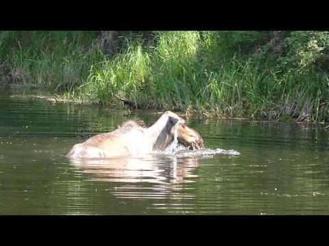 Moose in Chena River