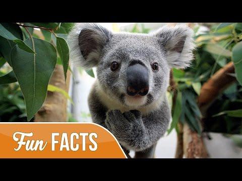 10-fun-facts-about-koalas