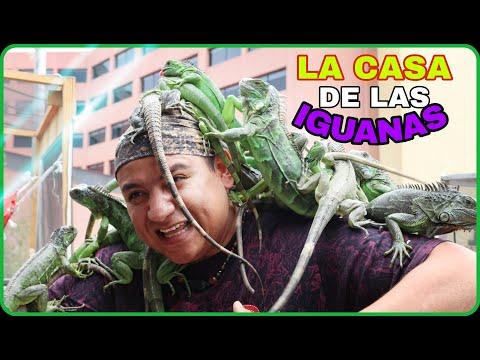 El tiene  38  iguanas!!!   el iguana boy, (rescatador de iguanas).