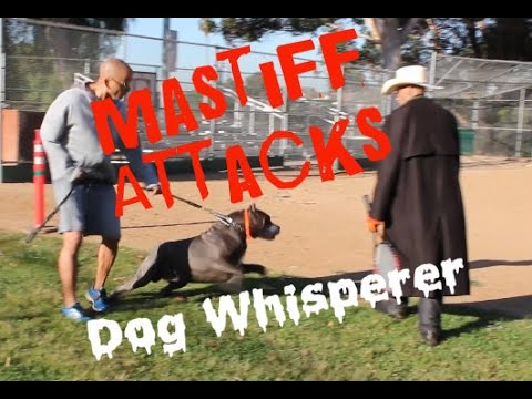 Mastiff Attacks Dog Whisperer BIG CHUCK MCBRIDE
