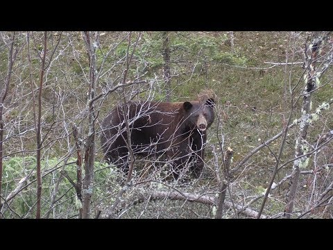 A Very Close Call With A Giant Cinnamon Bear Named Big Red
