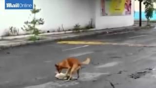 Chú chó cố gắng kéo xác bạn vào lề đường sau khi bị ô tô đâm