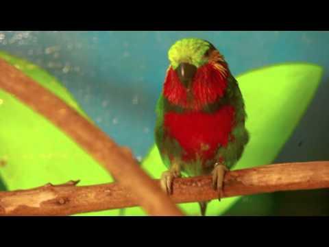 edwards fig parrot