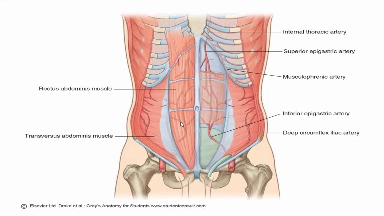 Anatomy 1 C2 L2 Anterior Abdominal Wall Youtube