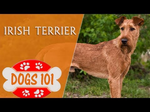 Dogs 101 - IRISH TERRIER - Top Dog Facts About the IRISH TERRIER