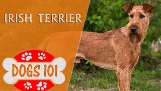Dogs 101  IRISH TERRIER  Top Dog Facts About the IRISH TERRIER