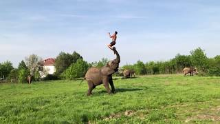 Elephant helps Young Man to do a Somersault | #elephant