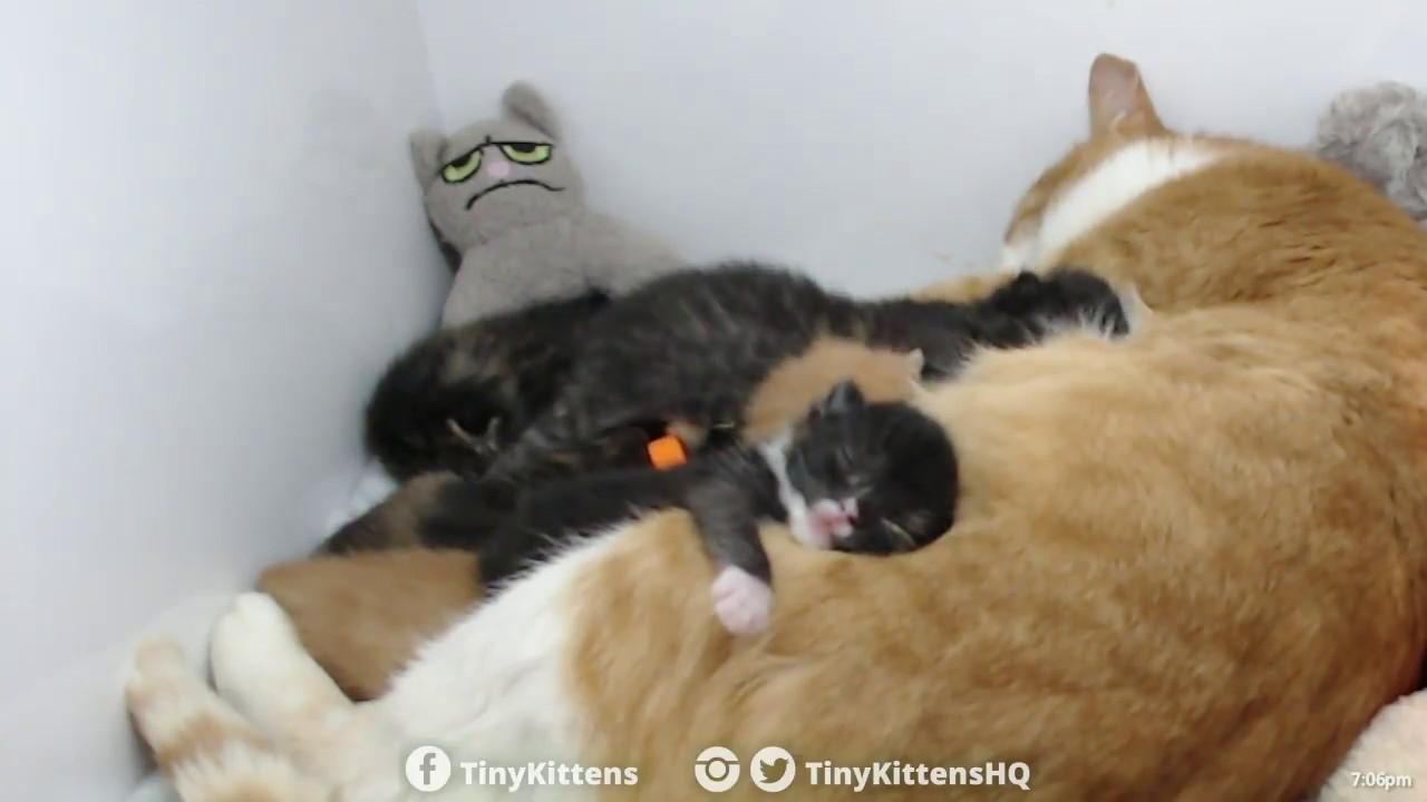 Chloe is already feeling better (mastitis) - TinyKittens.com