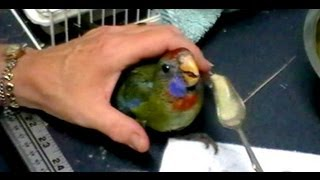 How to feed Baby Adelaide Rosellas ♥