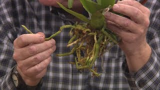 Repotting Grocery Store Orchids – Family Plot