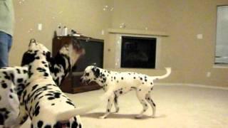 Dalmatians Having Bubble Fun