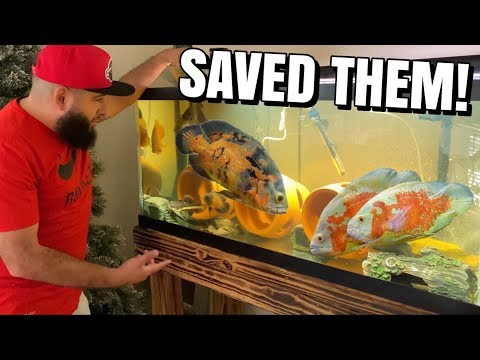 HUGE OSCAR FISH RESCUED FROM HORRIFYING LIFE THREATENING CONDITIONS!