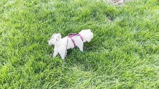 Maltese dog, STAR, goes walkies