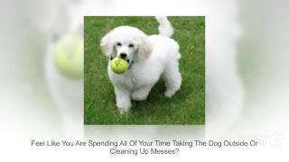 How To PoTTy Train A POOdle PuPPy | Housebreaking Poodle Puppies