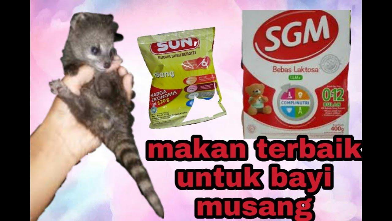 Makanan Bayi Musang Rase Youtube